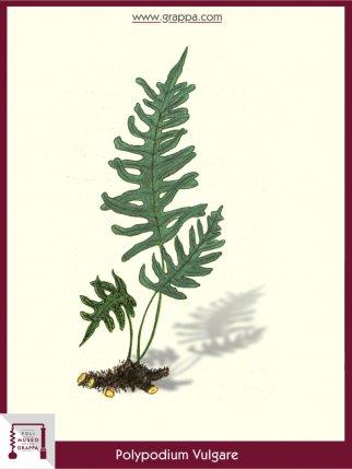 La felce dolce liquirizia falsa felce dolce - La felce pianta ...