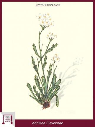 Assenzio Bianco (Achillea Clavennae)