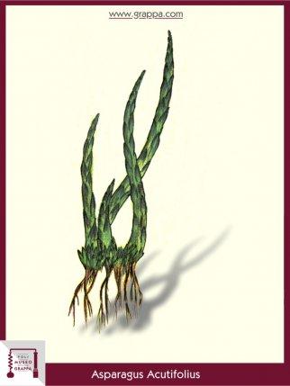 Spitzblättriger Spargel (Asparagus Acutifolius)