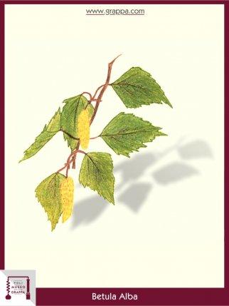 Birch (Betula Alba)