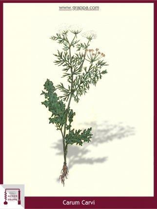Wiesenkümmel (Carum Carvi)