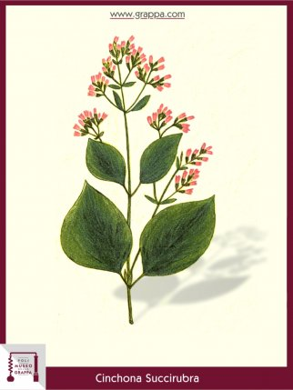 Chinarindenbäume (Cinchona Succirubra)