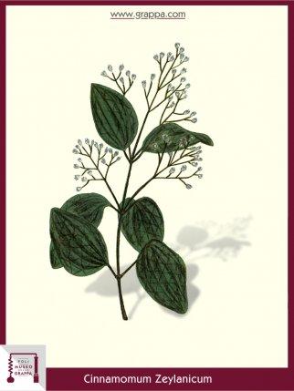 Ceylon Cinnamon Tree (Cinnamomum Zeylanicum)