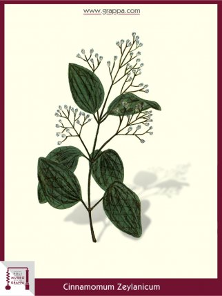 Cannella (Cinnamomum Zeylanicum)
