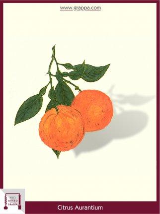 Pomeranze, Bitterorange (Citrus Aurantium)