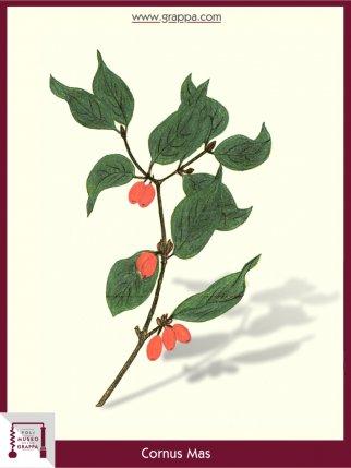 Cornelian cherry, European cornel (Cornus Mas)