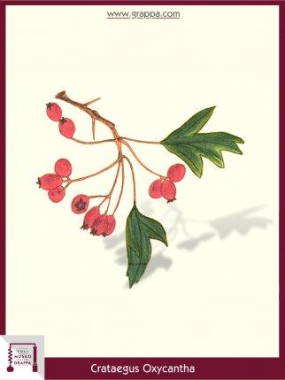 Zweigriffeliger Weißdorn (Crataegus Oxycantha)