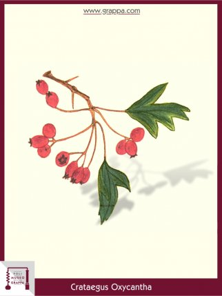 Common Hawthorn, Midland Hawthorn (Crataegus Oxycantha)