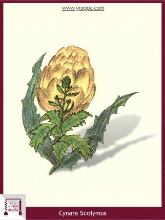 Carciofo (Cynara Scolymus)