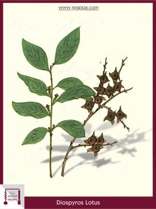 Date-Plum (Diospyros Lotus)