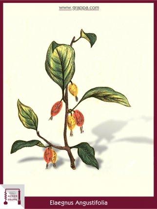 Schmalblättrige Ölweide (Elaegnus Angustifolia)