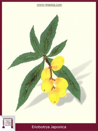 Loquat, Japanese medlar, Japanese plum  (Eriobotrya Japonica)