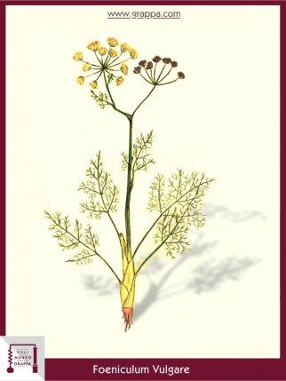 Finocchio Comune (Foeniculum Vulgare)