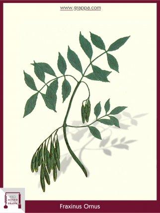 Orniello, Frassina da manna (Fraxinus Ornus)