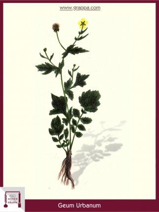 Cariofillata Comune, Garofanaia (Geum Urbanum)