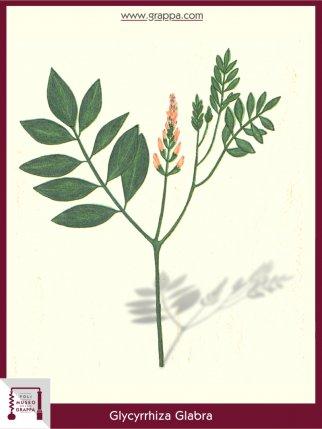 Liquorice, Licorice (Glycyrrhiza Glabra)