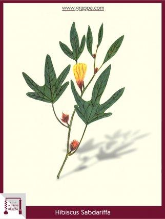 Roselle, Karkade (Hibiscus Sabdariffa)