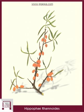 Sanddorne (Hippophae Rhamnoides)