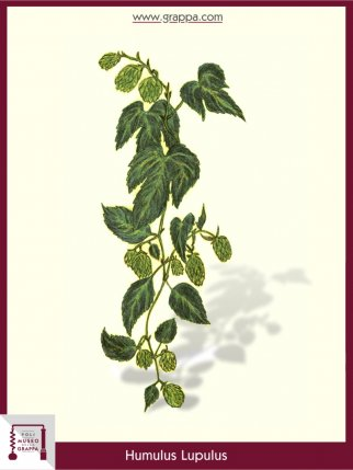 Luppolo Comune (Humulus Lupulus)