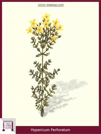 Echtes Johanneskraut, Tüpfel-Hartheu (Hypericum Perforatum)