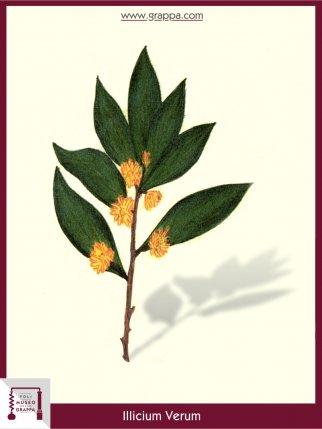 Echter Sternanis (Illicium Verum)