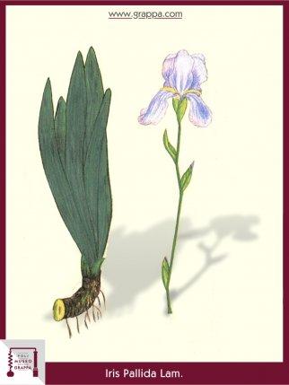 Dalmatian Iris or Sweet Iris (Iris Pallida)