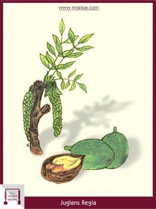 Persian Walnut, Common Walnut (Juglans Regia)