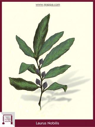 Echter Lorbeer (Laurus Nobilis)