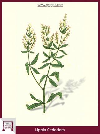 Zitronenstrauch (Lippia Citriodora)