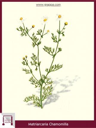 Chamomile (Matriarcaria Chamomilla)