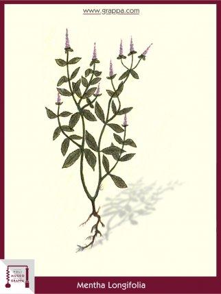 Rossminze (Mentha Longifolia)