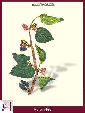 Black Mulberry, Blackberry (Morus Nigra)