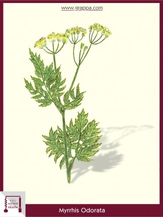 Süßdolde, Myrrhenkerbel (Myrrhis Odorata)