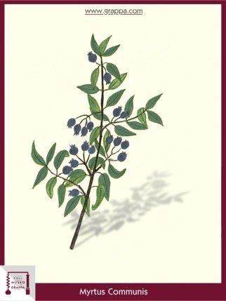 Myrte, Brautmyrte, Gemeine Myrte (Myrtus Communis)