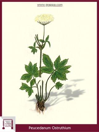 Masterwort (Peucedanum Ostruthium)