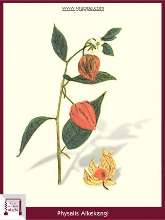 Bladder Cherry, Chinese Lantern (Physalis Alkekengi)