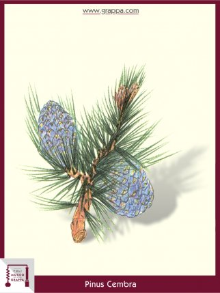 Swiss pine, Arolla pine (Pinus Cembra)