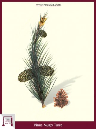 Bergkiefer, Latsche (Pinus Mugo Turra)