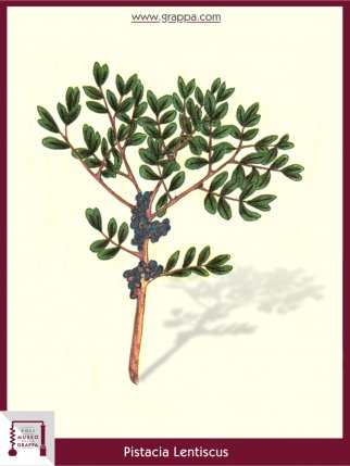 Mastixstrauch, Wilde Pistazie (Pistacia Lentiscus)