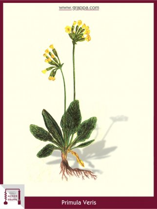 Echte Schlüsselblume, Wiesen-Primel (Primula Veris)