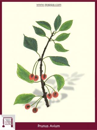 Wild Cherry, Sweet Cherry (Prunus Avium)