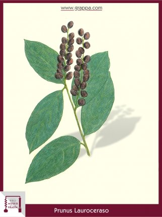 Cherry Laurel (Prunus Lauroceraso)