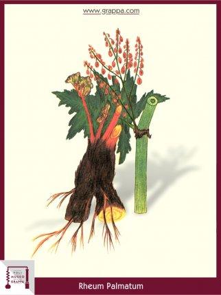 Arznei-Rhabarber, Chinesischer Rhabarber (Rheum Palmatum)