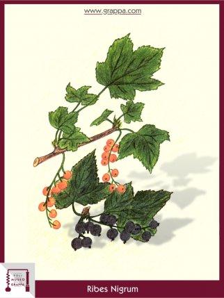 Schwarze Johannisbeere, Schwarze Ribisel (Ribes Nigrum)
