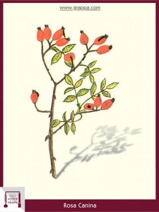 Dog-Rose (Rosa Canina)