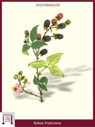 Elmleaf Blackberry or Thornless Blackberry (Rubus Fruticosus)