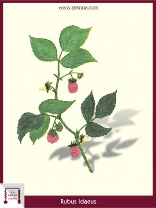 Himbeere (Rubus Idaeus)