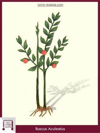 Butcher's-Broom (Ruscus Aculeatus)