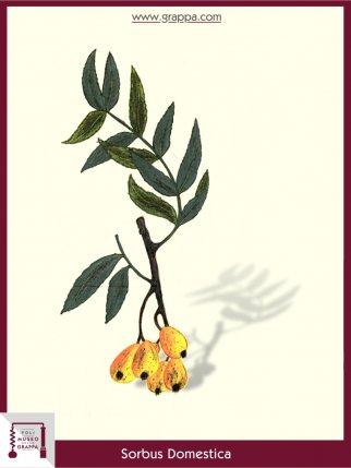 Sorbo Domestico (Sorbus Domestica)