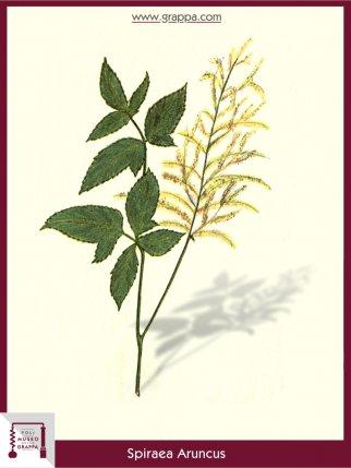 Wald-Geißbart (Spiraea Aruncus)